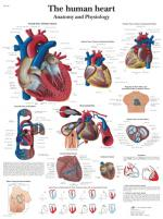 VR1334_L_the-human-heart-anatomy-and-physiology.jpg