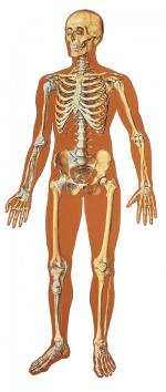 V2001_L_the-human-skeleton-front.jpg